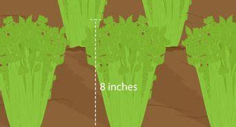 come coltivare il sedano come coltivare funghi 16 passaggi illustrato