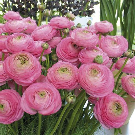 Flowering Onions - ranunculus aviv pink