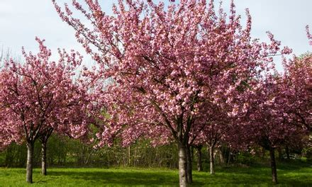 up to 46 flowering cherry blossom tree groupon