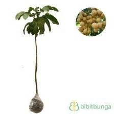 tanaman duku tanpa biji bibitbunga
