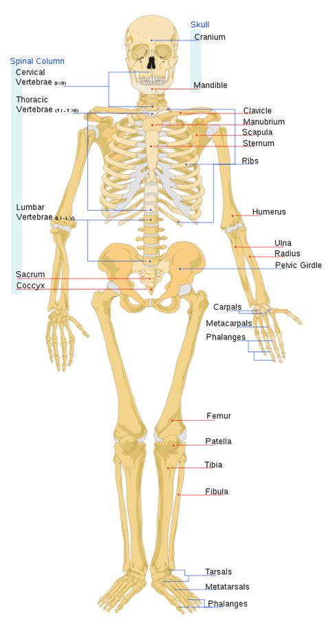 skeletal diagram skeletal system