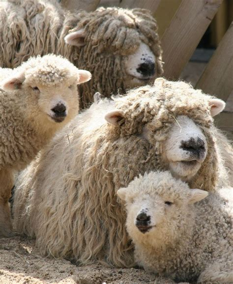Komik Counting Sheep 598 best woolens images on farm animals sheep