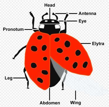 ladybug diagram ladybug anatomy article and diagram