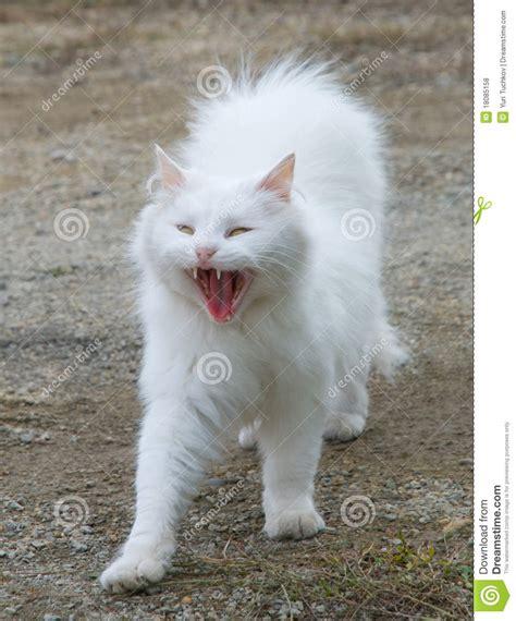 white fluffy cat stock photo image  purr tusk yawn