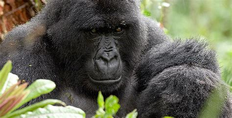 Personality Series Be Polite Gorillabox fossey archives behavior primate behavior and ecology