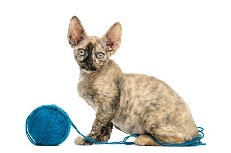 Low Shedding Cats by 6 Low Shedding Cat Breeds That Your Black Clothing Will