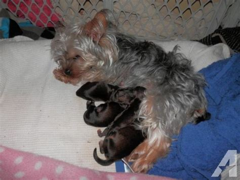 yorkie baby puppies yorkie puppies newborn for sale in grundy center iowa classified