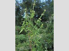 Borreria verticillata - fotos Habitat