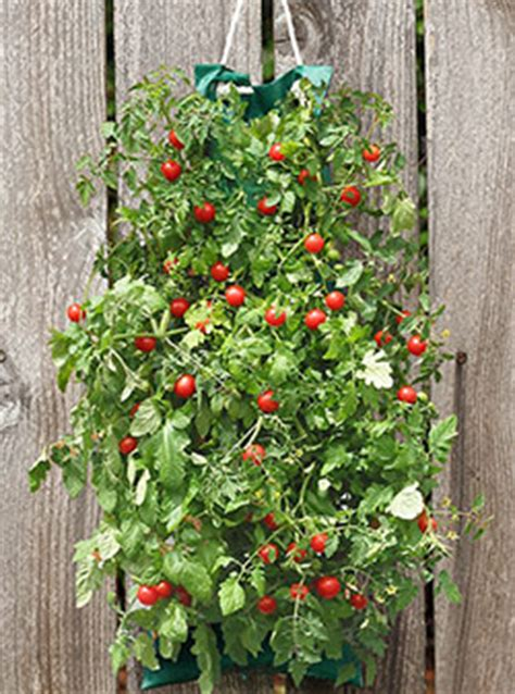 cherry tomato vertical garden