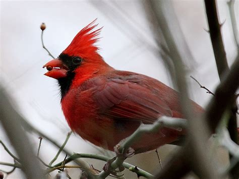 northern cardinal eating flickr photo sharing