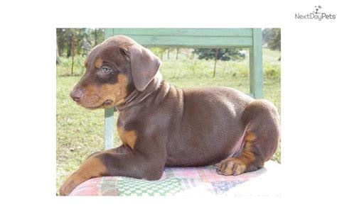 brown doberman puppies doberman pinscher dogs puppies picture breeds picture