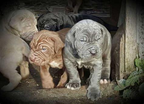 neapolitan mastiff puppies for adoption outstanding neapolitan mastiff puppies for sale adoption from perak chemor adpost