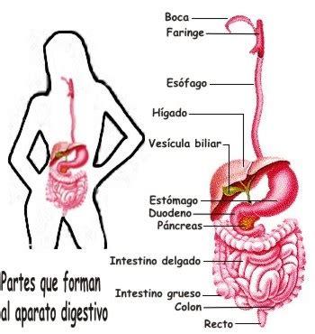 digestivo images aparato que funcion cumple el sistema picture para qu 233 sirve el aparato digestivo humano y qui 233 nes lo