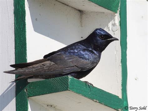 purple martin south dakota birds and birding