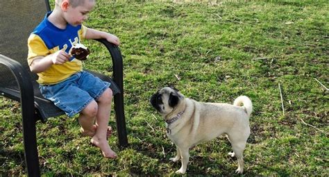 how to your pug to outside the secret s out how to get your pug to stop begging for food leashes optional