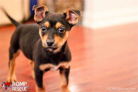 chicago adoption terrier mix puppies chicago romp italian greyhound rescueromp italian greyhound
