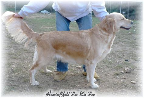 golden retrievers wisconsin wisconsin golden retriever retriever breeds