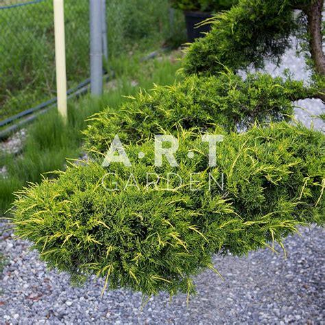 Beton Pour Terrasse 2649 by Grand Arbre Nuage Pour Jardin Et Terrasse Juniperus Pfit Aurea