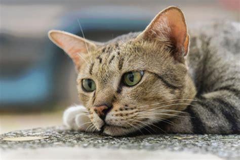 ab wann werden katzen rollig wie alt werden katzen wirklich tierischehelden de
