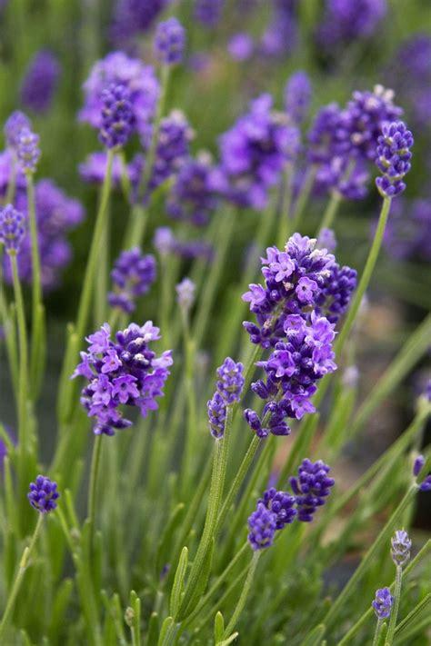 thumbelina leigh english lavender monrovia thumbelina leigh english lavender succulents
