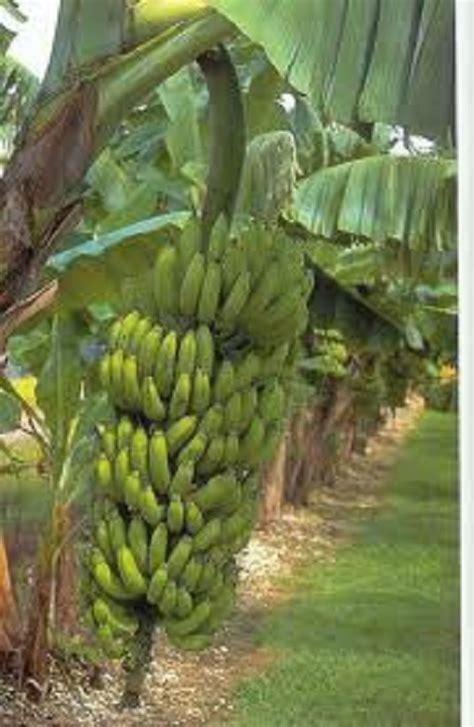 Tree Plant - buy banana tree plants