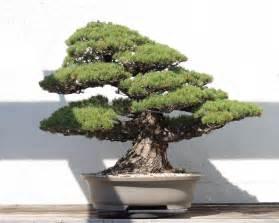 bonzi tree file japanese white pine bonsai 81 october 10 2008 jpg