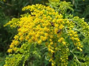 the joyce road neighborhood wildflower goldenrod