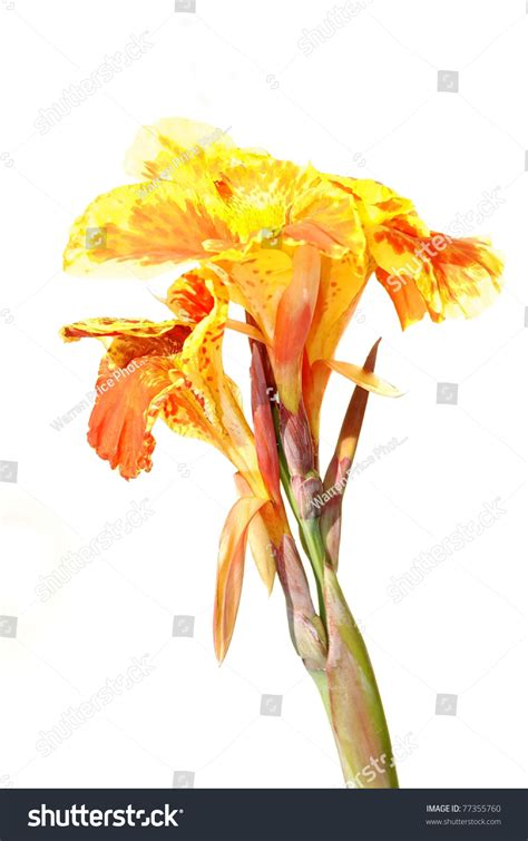 Kanna White Soft gorgeous yellow and orange canna flower against white