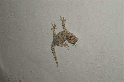 Gecko Wall