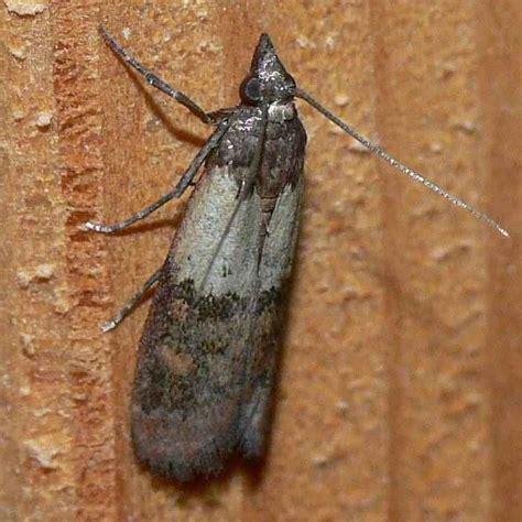 nachtfalter in der wohnung z 252 nsler vom 14 16 08 09 lepidoptera falter tag und