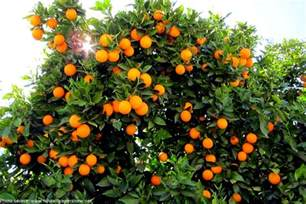 interesting facts about oranges just fun facts