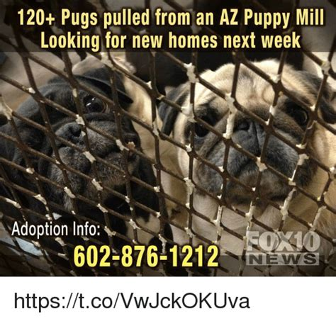 pug puppies az 120 pugs pulled from an az puppy mill looking for new