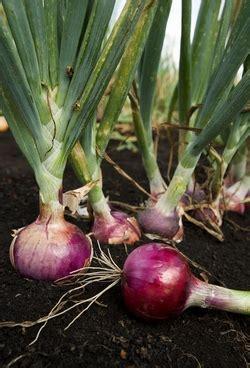 cipolle in vaso coltivazione cipolle coltivazione ortaggi piantare cipolle