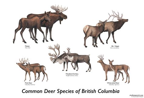 deer breeds digital jen burgess