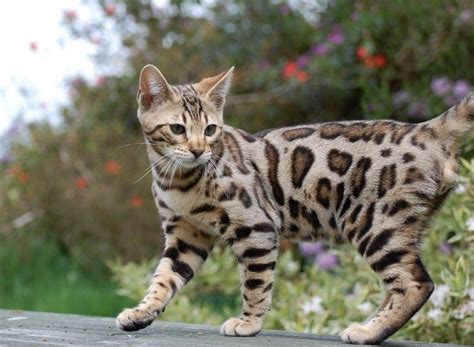 cat price 25 best ideas about bengal cat price on