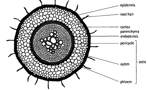 california civil code section 841 cross section of a monocot root sectional ideas