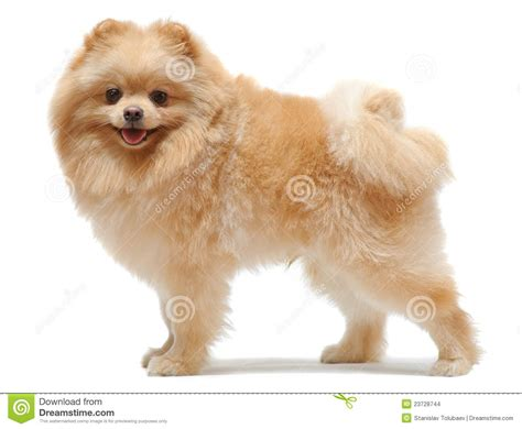 standing pomeranian portrait of standing pomeranian spitz stock images image 23728744