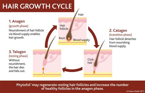 Shedding Phase Of The Hair Growth Cycle hair growth cycle fusion health