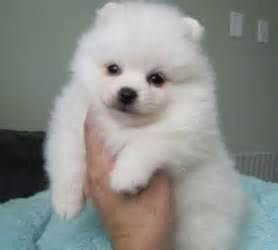 pomeranian breeders vancouver affectionate pomeranian puppies for sale for sale adoption from vancouver