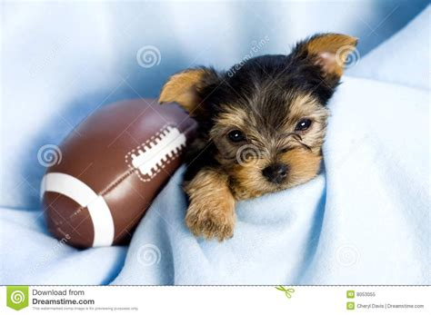 boy yorkie dogs terrier puppy with football royalty free stock photo image 8053055