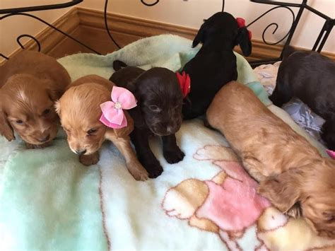 miniature cocker spaniel puppies for sale 3 show type cocker spaniel puppies for sale doncaster south pets4homes