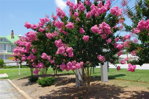 flowering shrubs for sale njplantsandtrees 1 wholesale nursery