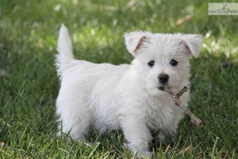west highland white terrier puppies 1000 images about puppy on white lab white terrier and puppys