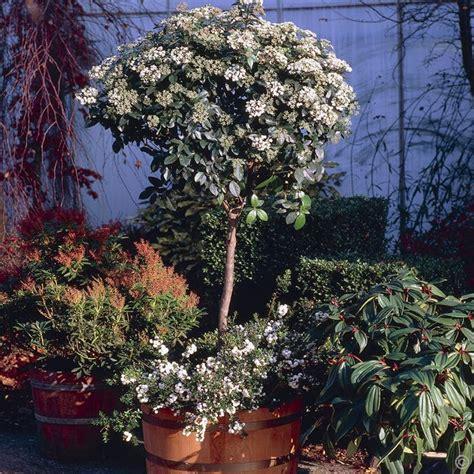 Schneeball Viburnum Tinus Auf Stamm 1 Baum G 252 Nstig
