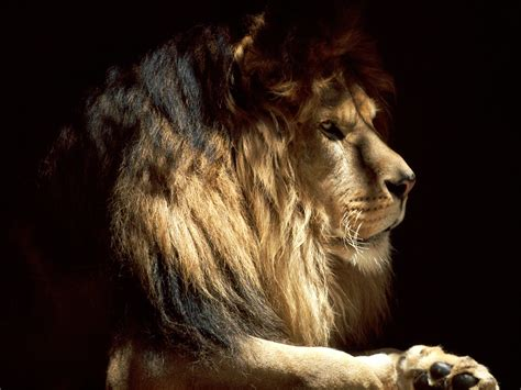 imagenes full hd de leones fotos de animales salvajes en hd imagui