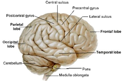 the confabulating mind how the brain creates reality books cerebral hemispheres the central nervous system