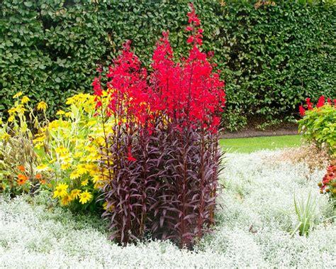 gardensonline lobelia cardinalis syn  fulgens