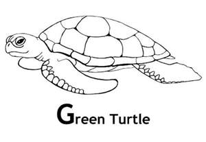 sea turtle coloring page green sea turtle coloring pages and facts