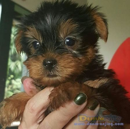 wire fox terrier puppies for sale near me jual puppy terrier photo