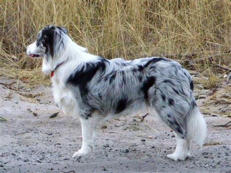 blue merle colores border collie border collie perros